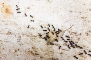 Indoor House & Outdoor Garden Ant Control Products & Services in Eufaula OK