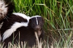 How to Keep Opossums, Squirrels & Skunks Away From Your Broken Arrow OK Home or Business Property