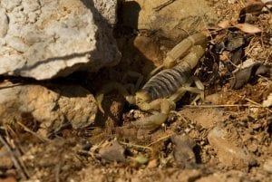 How to Get Rid of Scorpions in Fort Worth TX?