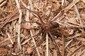 Venomous Black Widow & Brown Recluse Spider Pest Extermination in Glenpool OK