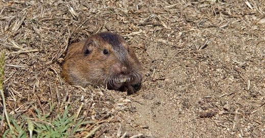Where Do Pocket Gophers Live?