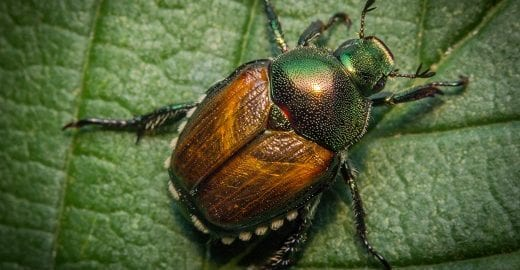 Japanese Beetles in the USA: Damage to Lawn and Leaves in Fort Worth, Tulsa and Muskogee OK