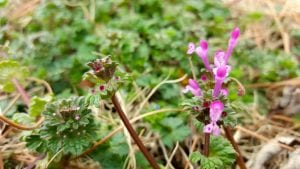 Henbit Is Taking Over Oklahoma Yards