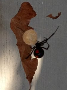 Venomous Black Widow Spiders Making Appearance