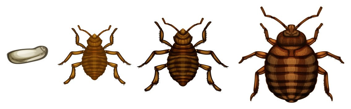 Cartoon images of bed bug life cycle.