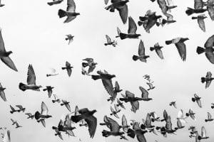 Bird Control Limits Exposure to Avian Diseases