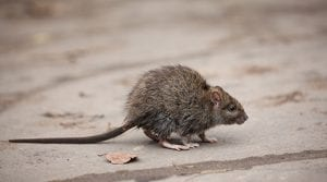 Fight Back Against Fall Invaders with Effective Rodent Control from Pied Piper
