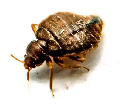 A picture of bedbug with blur background