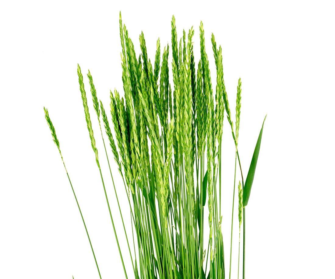Quackgrass