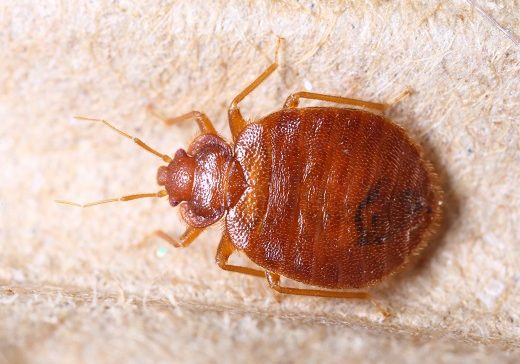 Where do Bed Bugs Come From in Muskogee OK Homes & Businesses?