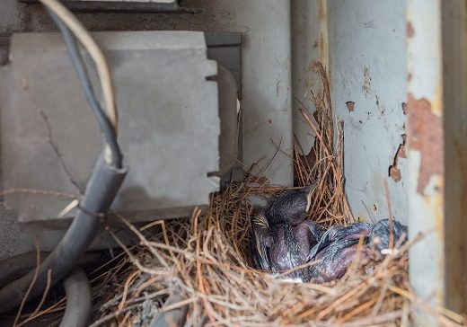 The Dangers of Bird Nests on Your Property; Bird Control and Prevention in Muskogee, OK