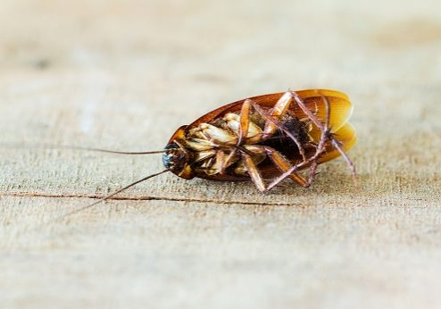 Roaches Cause Health Problems in Oklahoma