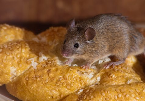 Rodents Infesting Restaurant Kitchens; Commercial Rodent Control and Prevention in Tulsa, OK
