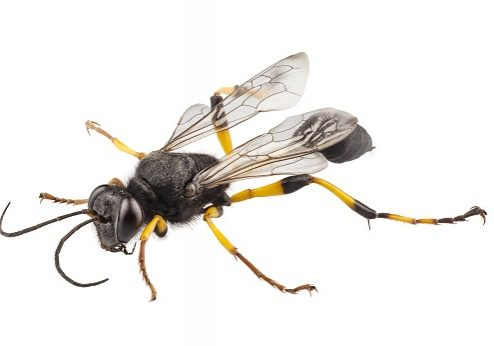 Removing Black and Yellow Mud Dauber Mud Nests; Wasp Prevention and Control in Broken Arrow, OK