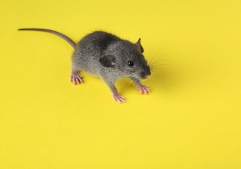 Practical Tips for Preventing Rodent Infestation