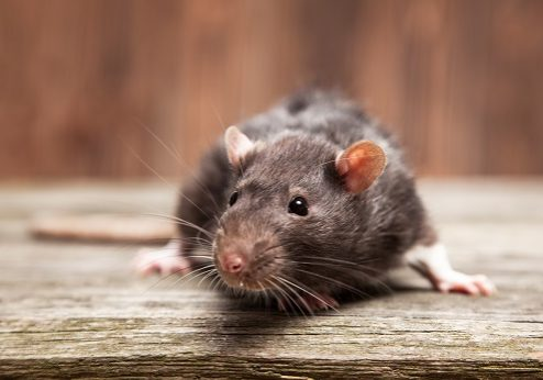 Protect Your Home or Business From Rodents This Fall