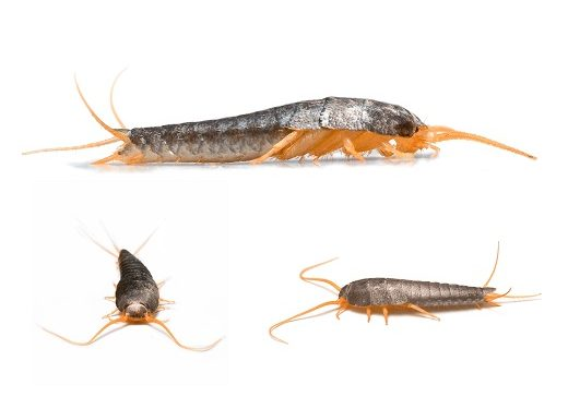Spring Signals Silverfish Infestation in Oklahoma