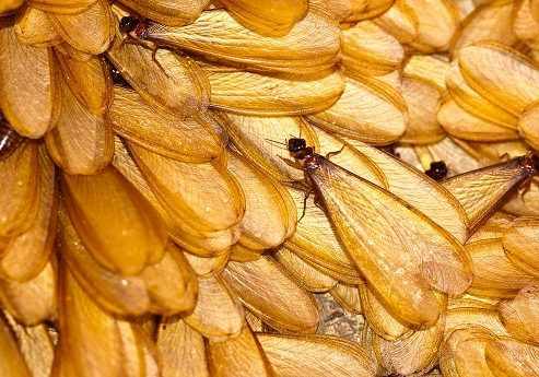 Look for Termite Swarms in the Upcoming Months